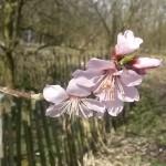 Amandelboom | Prunus dulcis 'Ferragnes'